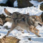 「狼」と「シベリアンハスキー」の違いについて!
