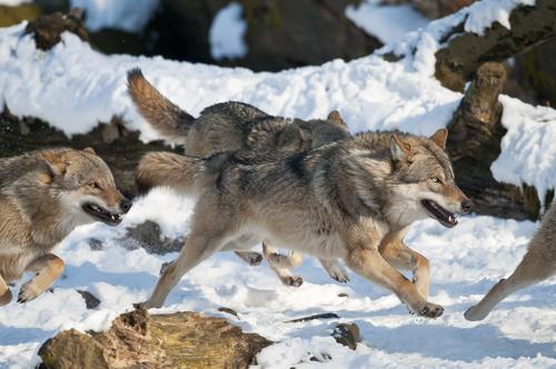 狼 シベリアンハスキー