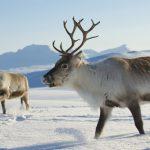 鹿とトナカイの根本的な違いは?