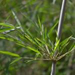 七夕の笹と、竹の違いについて