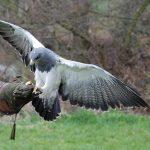 鷹と鷲と鳶の違いは?