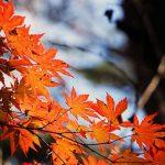 楓ともみじの違いについて 彩を添える植物!